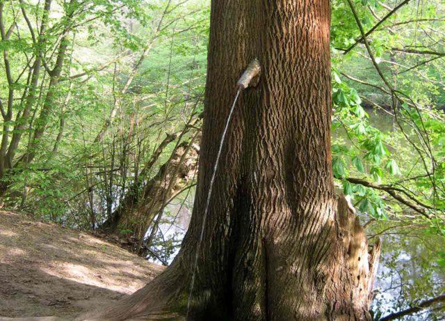 Der Frankfurter Pinkelbaum
