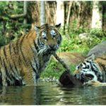 Erlebnistierpark Memleben Tiger